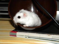 Léna, rongeur Hamster