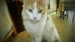 Léna , chat American Shorthair