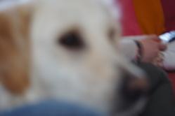 Lena, chien Golden Retriever