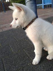 Lena, chien Akita Inu