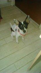 Léna, chien Jack Russell Terrier