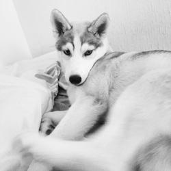 Lena, chien Husky sibérien