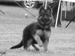 Lena Du Lunoxa, chien Berger allemand