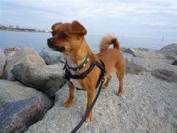 Léni, chien Chihuahua