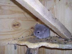 Léni, rongeur Chinchilla