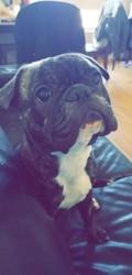 Lenni, chien Bouledogue français
