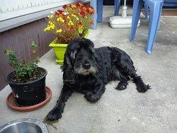 Lennie, chien Cocker anglais