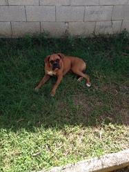 Lennox, chien Boxer