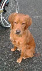 Lenny, chien Épagneul breton