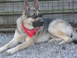 Lenny, chien Berger allemand
