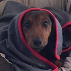 Lenny, chien Teckel