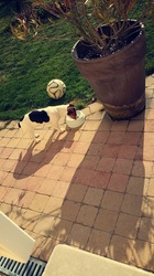 Lenny, chien Jack Russell Terrier