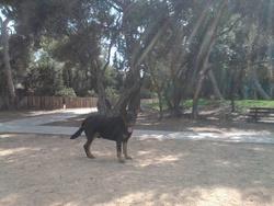 Lenny, chien Beauceron