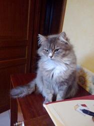 Lenora, chat Européen