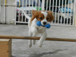 Leny, chien Cavalier King Charles Spaniel