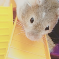 Leny, rongeur Hamster