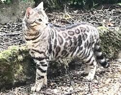 Leo, chat Bengal