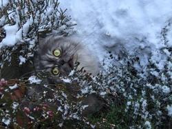 Léo, chat Chinchilla Persan