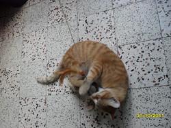 Leo, chat Européen