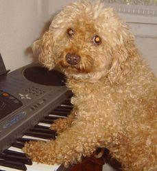 Léo, chien Caniche