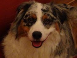 Léo, chien Berger australien