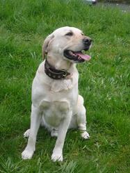 Leo, chien Labrador Retriever
