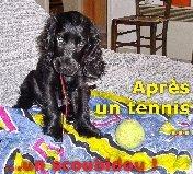 Léo, chien Cocker anglais