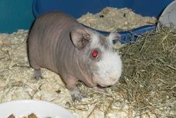 Léo, rongeur Cochon d'Inde