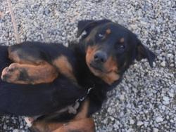 Leo, chien Beauceron