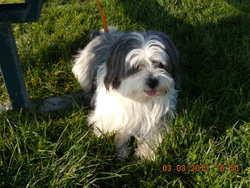 Leo, chien Lhassa Apso
