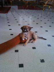 Leo, chien Berger belge