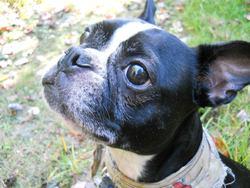 Léo, chien Terrier de Boston