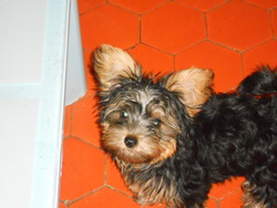 Léo, chien Yorkshire Terrier