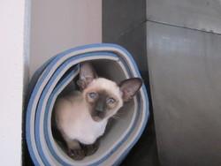 Leo, chat Siamois