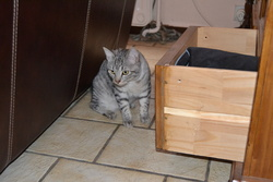 Léo, chat Mau Egyptien