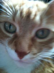 Léo, chat Angora turc