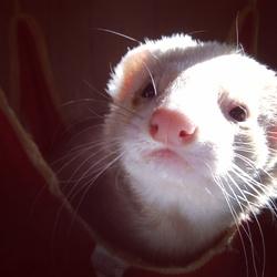 Léo, rongeur Furet