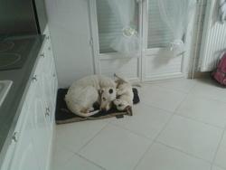 Léo, chien Dogue argentin