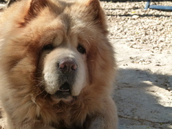 Léo, chien Chow-Chow