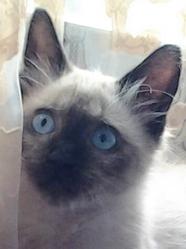 Léo, chat Siamois