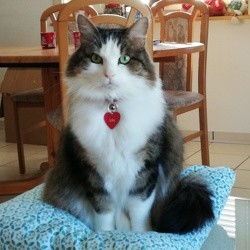 Léo, chat Sibérien