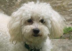Léo, chien Épagneul français