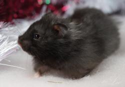 Leo, rongeur Hamster