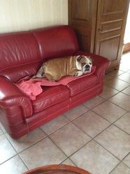 Léo, chien Bulldog