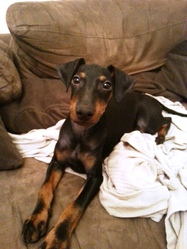 Léo, chien Manchester Terrier