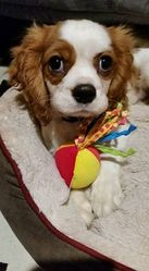 Léo, chien Cavalier King Charles Spaniel