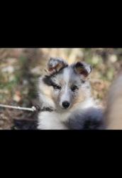 Léo, chien Berger des Shetland