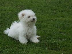 Léo, chien Bichon à poil frisé