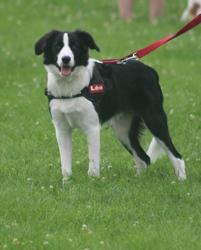 Léo, chien Border Collie
