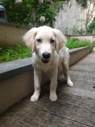 Léo, chiot Golden Retriever